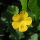 Abutilon sonnertianum