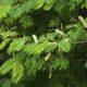 Acacia ataxacantha