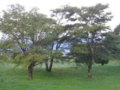 Acacia hereroensis