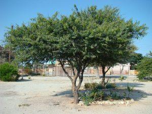 Acacia luederitzii