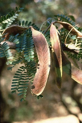Acacia robusta ssp. clavigera