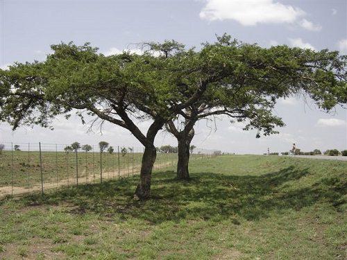 Acacia sieberiana