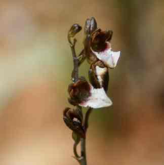 Acrolophia micrantha