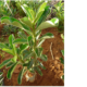 Adenium hybrids PLANT