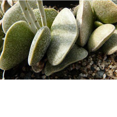 Adromischus bicolor