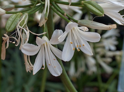 Agapanthus TALL WHITE