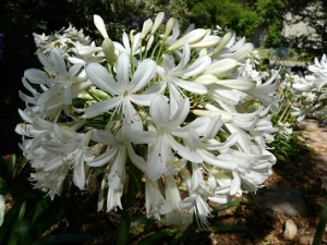 Agapanthus large WHITE