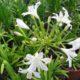 Agapanthus nana white