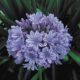 "Agapanthus praecox orientalis ""Blue King"" BULB"