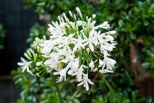 Agapanthus praecox (white)