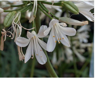 Agapanthus species (white)