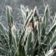 Agave polyantiflora