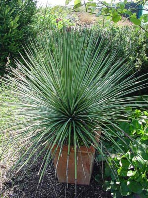 Agave stricta (10)