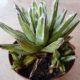 Agave victorea-reginae plants