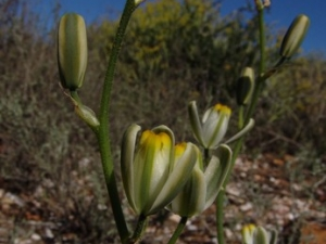 Albuca glandulosa