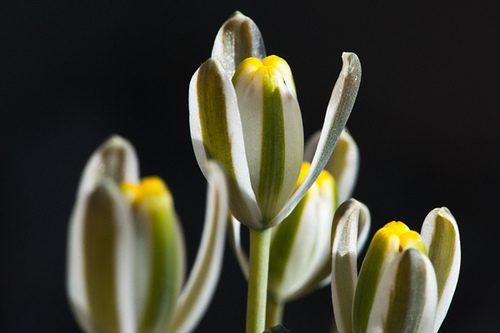 Albuca setosa (medium)