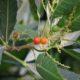 Allophylus natalensis