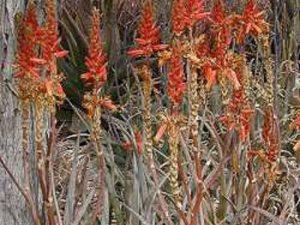 Aloe cryptopoda RED