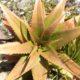 Aloe abyssinica