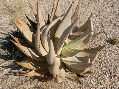 Aloe asperifolia
