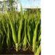 Aloe barberae PLANT