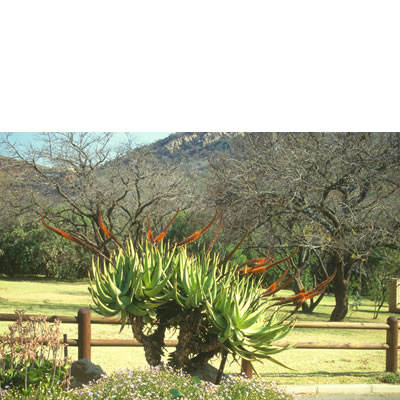 Aloe castanea GREEN LEAF