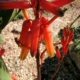 Aloe dawei red