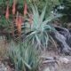 Aloe gerstneri PLANT