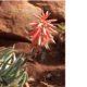 Aloe krapholiana var. dumoulinii