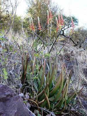 Aloe lutescens ORANGE