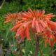 Aloe maculata orange