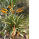 Aloe marlothii yellow