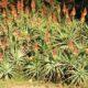 Aloe mutabilis (arborescens)