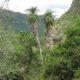 Aloe pluridens