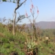 Aloe pretoriensis