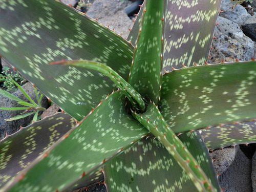 Aloe pruinosa