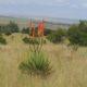 Aloe reitzii PLANT