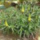 Aloe striatula PLANT