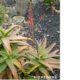 Aloe trichosantha