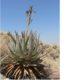 Aloe viridiflora