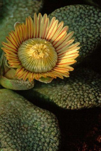 Aloinopsis rubrolineata