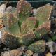 Aloinopsis setifera