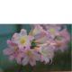 Amaryllis belladonna SEEDLING