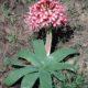 Ammocharis coranica seedlings