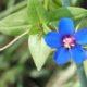 Anagallis monellii
