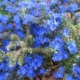 Anchusa capensis BLUE ANGEL
