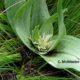 Colchicum longipes (Androcymbium longipes)