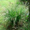 Anthericum saundersiae