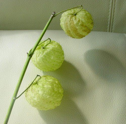 Asclepias fruticosa