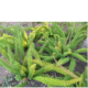 Asparagus meyersii